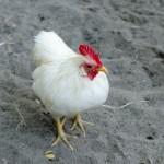 鶏のとさかは何のためにあるの?あご下のものの名前や意味は?