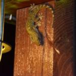 ヤモリがゴキブリを食べるって本当?家のゴキブリがいなくなる?
